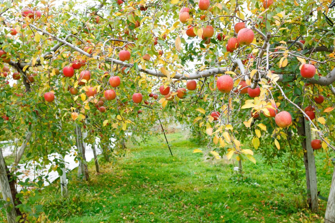 りんご を さらに 美味しく する 方法
