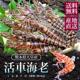 活車海老 (いきくるまえび) 熊本県天草産 約1kg(30~44尾入り) 送料無料