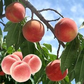 フルーツの郷・山梨の桃をお取り寄せ♪産地から直接お届け