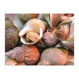 殻付きツブ貝1kg(25粒程度)洗浄・ボイル加工