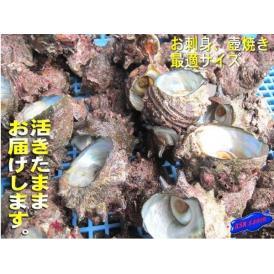 特大さざえ10個程度で2kgセット サザエ 栄螺 かい 貝 カイ