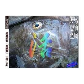 超高級魚、馬頭鯛 5.0kg絶品、味は河豚以上