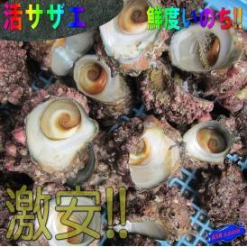 活さざえ1kgセット(10個程度) サザエ 栄螺 かい 貝 カイ