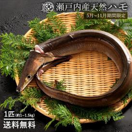 鮮魚 直送 ハモ (生) はも (大) 1尾 (1kg〜1.5kg)  天然 ハモ 香川県産 神経抜き 冷蔵 送料無料 ※5月〜11月のみ期間限定