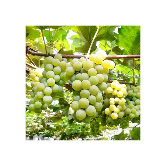 北海道 ぶどう 仁木産 ナイアガラ 2kg 8房前後(北海道産 ブドウ 秀品)気品漂う香り、マスカットより甘い。ギフトにも大好評、高評価ありがとうございます!02