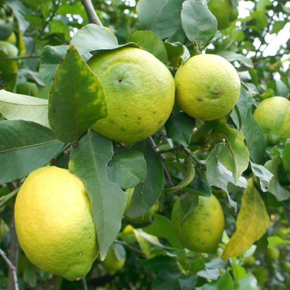 パオラ・オルシーニ農園 レモンフレーバーオリーブオイル 250ml04