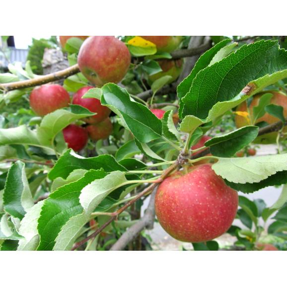 国産無添加ドライフルーツ(リンゴ)02