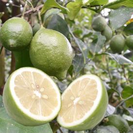 レモン 国産レモン 送料無料 熊本県産 4kg S~L 3箱購入で1箱おまけ 減農薬 防腐剤ワックス不使用 れもん グリーンレモン 国産