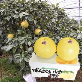 晩白柚 みかん ばんぺいゆ 送料無料 特選 約3kg~4kg 2玉入 M〜2Lサイズ  世界最大級の柑橘 熊本県八代産 蜜柑 ミカン