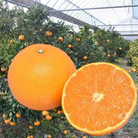 柑橘の大トロ