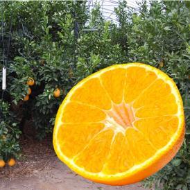 柑橘の王様デコみかん