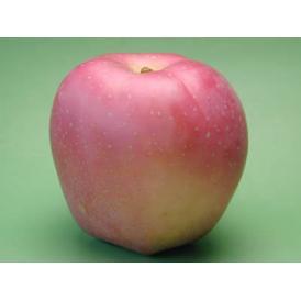 数量限定!昔懐かしいりんごです。