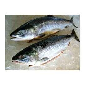 冷凍生紅鮭1本- 2kg前後-2尾入り【送料無料】