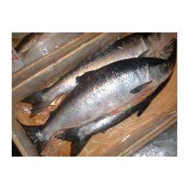 特上甘塩紅鮭1本- 2.5kg前後【送料無料】