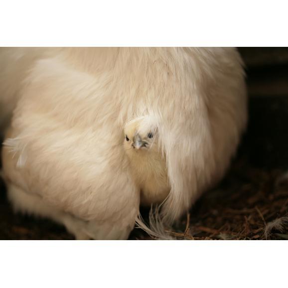 平飼い無添加飼料で育む烏骨鶏の有精卵【20個】04