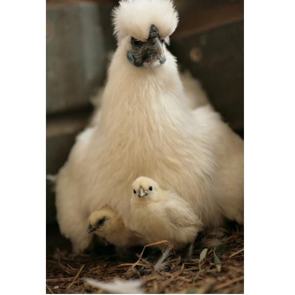 平飼い無添加飼料で育む烏骨鶏の有精卵【20個】05