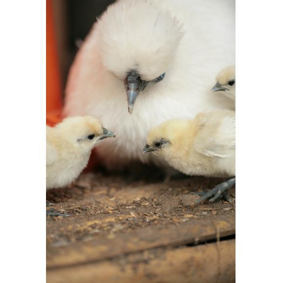 平飼い無添加飼料で育む烏骨鶏の有精卵【20個】06