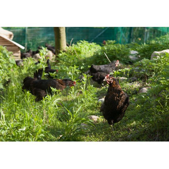 平飼い無添加飼料で育むにいがた地鶏の有精卵20個入05