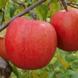 サンふじ 中箱 ご自宅用   青森りんごの代名詞