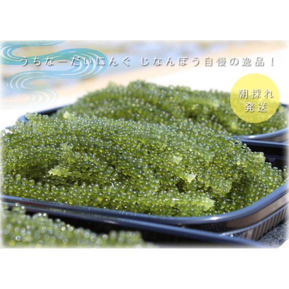 沖縄産生海ぶどう500g01