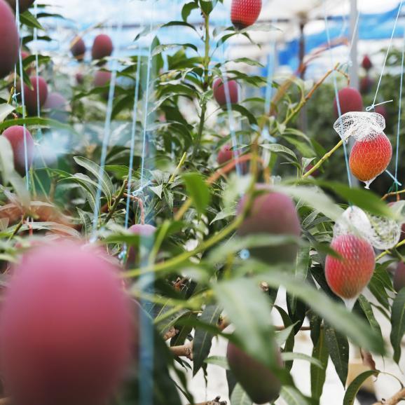KIMURA FARM「時の雫」マンゴー 2玉化粧箱入り 2L06