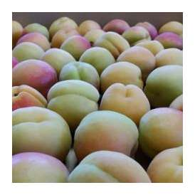 信州産あんず 信州大実 相沢農園(2kg)【予約販売 出荷開始予定7月1日頃】