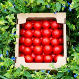 【加賀産】久保田ファーム 完熟有機フルーツトマト