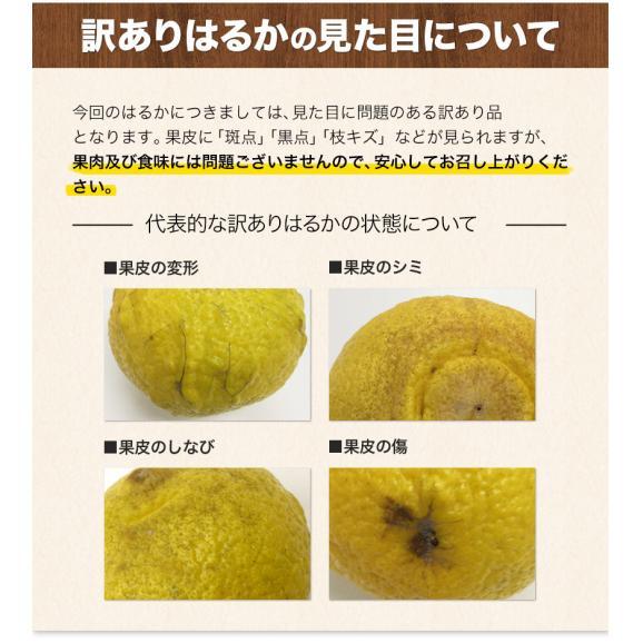 訳あり はるか 1.5kg 熊本県産 送料無料 柑橘 みかん ※複数購入の場合1箱におまとめ配送 2セット購入で1セット分増量 《7-14営業日以内に出荷予定(土日祝日除く)》05