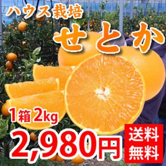 せとか 送料無料 希少品種 柑橘の女王 ハウス栽培 熊本県三角産  秀品2kg入01