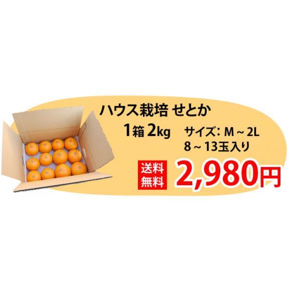 せとか 送料無料 希少品種 柑橘の女王 ハウス栽培 熊本県三角産  秀品2kg入02