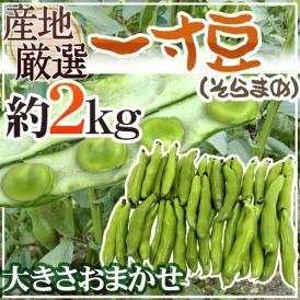 """【送料無料】九州・和歌山産他 """"一寸豆(そら豆)"""" 約2kg 大きさおまかせ【予約 12月以降】"""