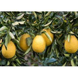 幻の希少品種:ひょうかん!糖度12度の柑橘類です