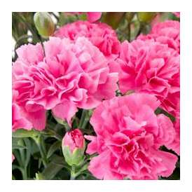 【母の日フラワーギフト】選べるカーネーション5号鉢植え 母の日ピック付