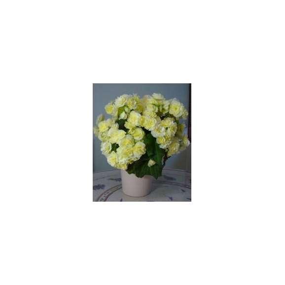 【母の日フラワーギフト】バラ咲ベゴニア鉢植え新品種 ボンボンレモン5号 カゴ付02