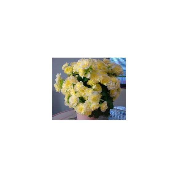 【母の日フラワーギフト】バラ咲ベゴニア鉢植え新品種 ボンボンレモン5号 カゴ付01