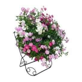 ウェルカムレンゲローズ リング植え アイアンスタンド付 鉢 花 ギフト プレゼント お祝い 送別 誕生日 記念日
