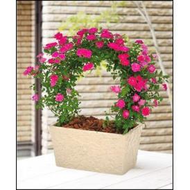 母の日 花 プレゼント つるバラ 鉢植え アーチ仕立て ギフト 鉢花 2021