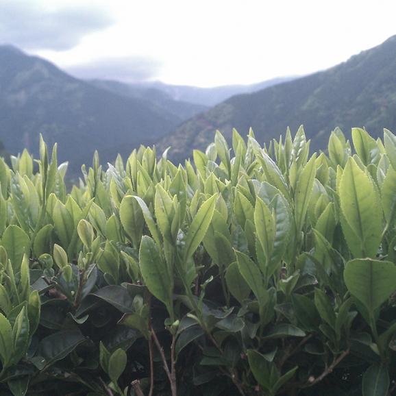 美醗香 温の茶 黒 NOIR06