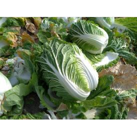 淡路島 平農園の白菜
