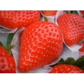 紡錘形で鮮やかな紅色の甘いいちご‼
