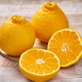 頭がデコッとしたユニークな形、春の柑橘と言えばデコポン(不知火)!!