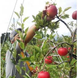 さんさりんご 3キロ家庭用