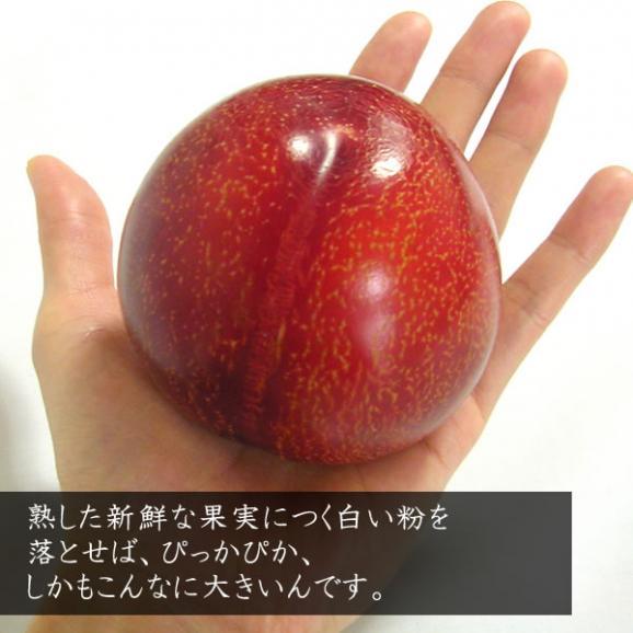 お中元 すもも ギフト 山梨産 プラム 貴陽(きよう)スモモ 6~9個入04