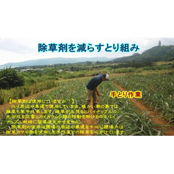 《全国送料無料》蜜入り!ピーチパイン【6玉セット】06