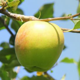 フルーティーな香りとあふれる果汁が魅力!あまいりんごが好きな方におススメです!