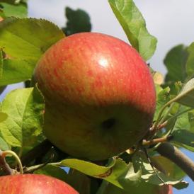 青森りんご 葉とらずふじ 2.5kg(6~10個)