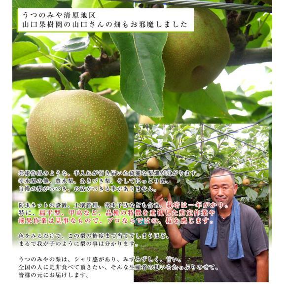栃木県より産地直送 JAうつのみやの梨 大玉限定 4Lサイズ以上 秀品 約5キロ (7玉から12玉) 送料無料 ※品種をお選びください。06