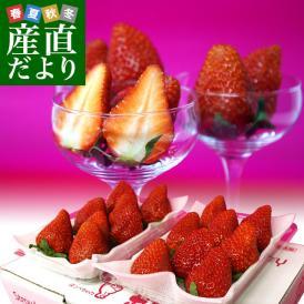 静岡県より産地直送 JA伊豆の国 紅ほっぺ DX 約560g (280g×2P) 送料無料 いちご イチゴ 苺 ※クール便発送
