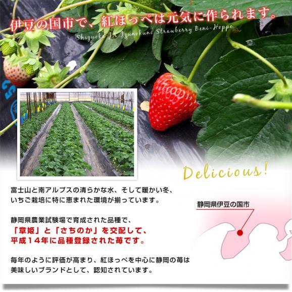静岡県より産地直送 JA伊豆の国 紅ほっぺ DX 約560g (280g×2P) 送料無料 いちご イチゴ 苺 ※クール便発送05