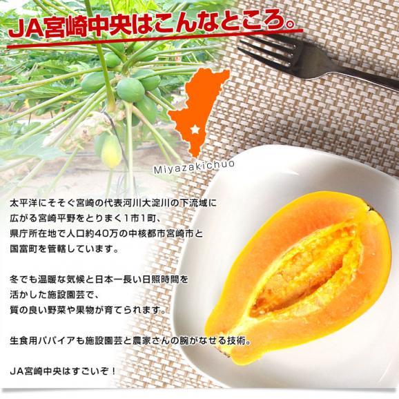 宮崎県より産地直送 JA宮崎中央 フルーツパパイア サンライズソロ 3Lから2Lサイズ 1キロ(2玉から3玉入り) 送料無料 パパイヤ ぱぱいあ05
